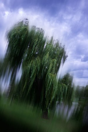 Abstract view of a Weeping Willow swaying in the face of a pending storm.