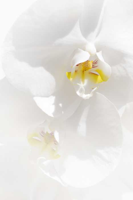 Photograph of a flawless, white orchid blossom