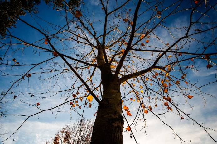 Photograph of a Maple Tree in December with only a few leaves left hanging on skeletal branches.